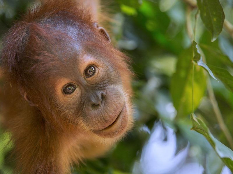 Protecting the orangutans